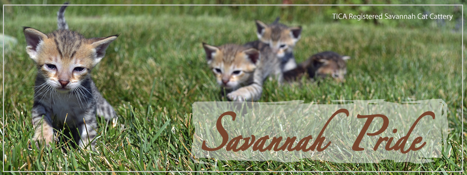 Savannah Pride Cat Kittens For Sale Serval